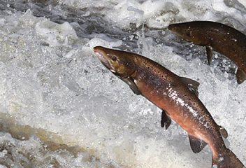 Wild vs. Farmed Salmon