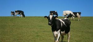 holstein dairy cattle in field with blue sky