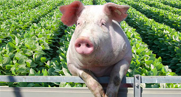 China, Soybeans, Pork and the American Farmer