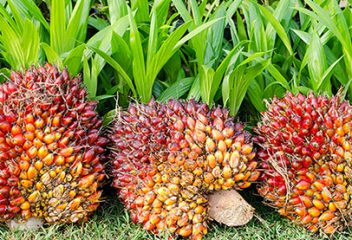 Palm Oil: In Pursuit of Sustainability